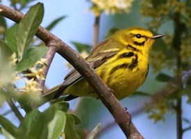 Prairie Warbler Photo