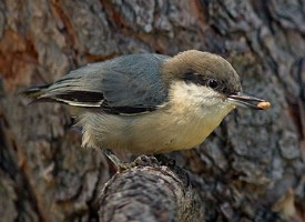 Pygmy Nuthatch Photo