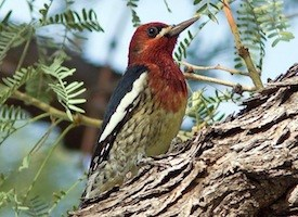 Red-breasted Sapsucker Photo
