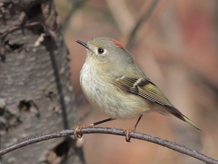 Golden Crowned Kinglet Identification All About Birds
