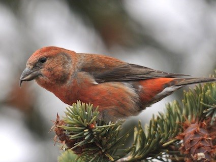 Image result for red crossbills michigan