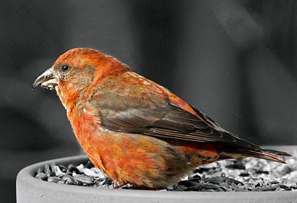 House Finches Red_crossbill_sim_1