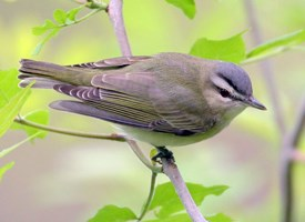 Red-eyed Vireo Photo