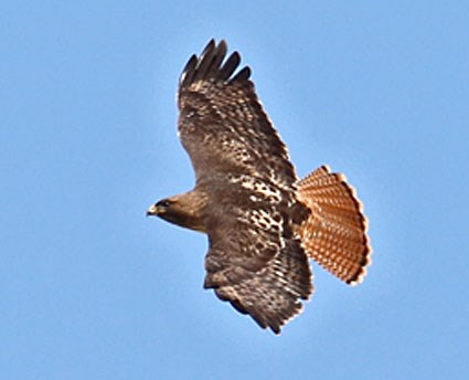 Red-tailed Hawk, Identification, All About Birds - Cornell Lab of ...