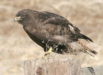 Dark morph adult