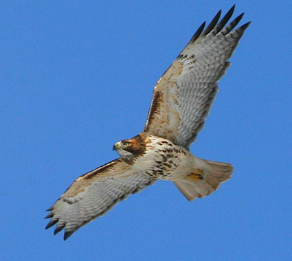external image red_tailed_hawk_2.jpg