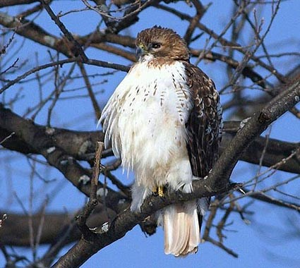 Red Tailed Hawk Identification All About Birds Cornell