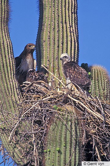 Red-tailed Hawk Nest Image 1