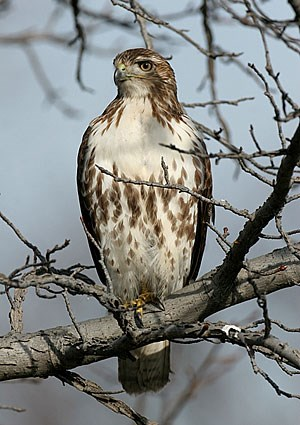 guide Red tailed Hawk id