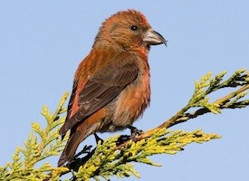 Red Crossbill Photo