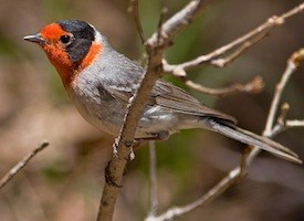 Red-faced Warbler Photo