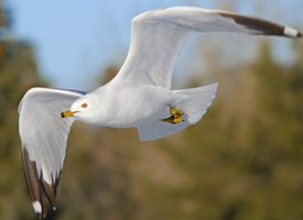Ring-billed Gull Photo