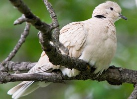 African Collared-Dove Photo