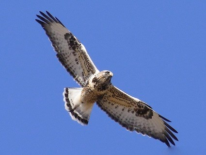 Image result for rough legged hawk