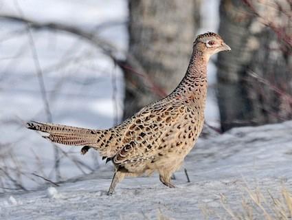 Female Ring Necked Pheasant