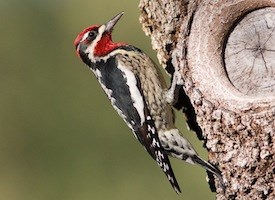 Red-naped Sapsucker Photo