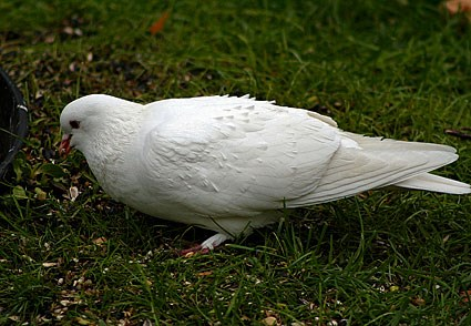 Adult white