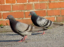 Rock Pigeon Photo