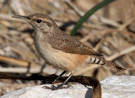 Rock Wren Photo