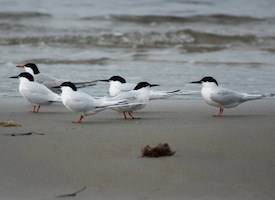 Roseate Tern Photo