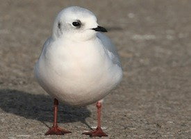 Rosss Gull Photo