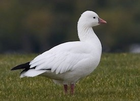 Ross's Goose Photo