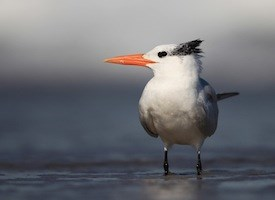 Royal Tern Photo