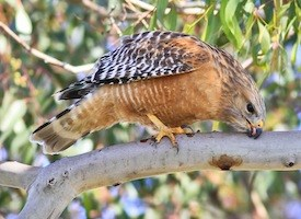 Red-shouldered Hawk Photo