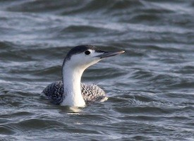 Red-throated Loon Photo