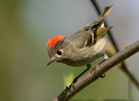 external image ruby-crowned_kinglet_glamor.jpg