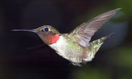 [Image: ruby_throated_hummingbird_4.jpg]