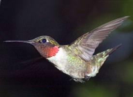 Ruby-throated Hummingbird Photo
