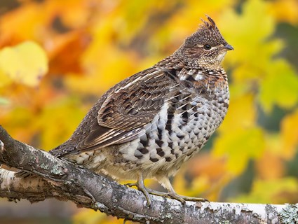 a study on the masked bobwhite quail a rare subspecies of northern bobwhite These plump little birds have the most widespread range of any quail species, with almost 20 subspecies the bobwhite quail or northern bobwhite is study birds.