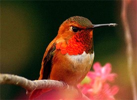 Rufous Hummingbird Photo