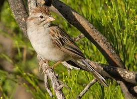 Rufous-winged Sparrow Photo