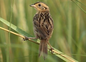 Saltmarsh Sparrow Photo