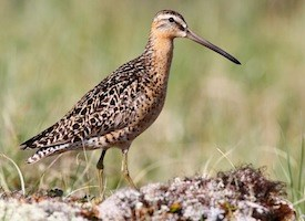 Short-billed Dowitcher Photo