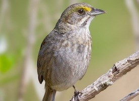 Seaside Sparrow Photo