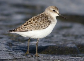 Semipalmated Sandpiper Photo
