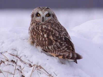 Short Eared Owl Identification All About Birds Cornell