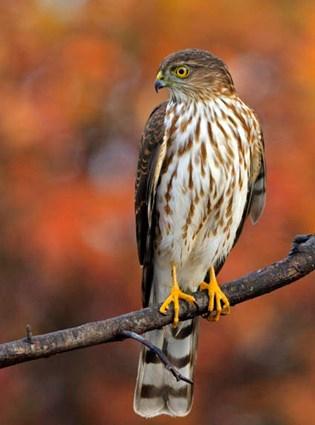 Sharp-shinned Hawk and Cooper's Hawk - FeederWatch