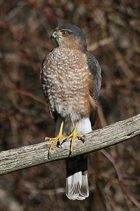 Sharp-shinned Hawk, Identification, All About Birds ... | 281 x 425 jpeg 31kB
