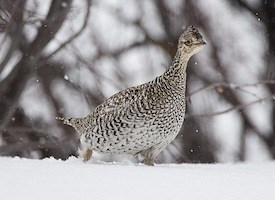 Sharp-tailed Grouse Photo