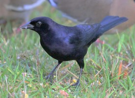 Shiny Cowbird Photo