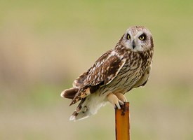 Short-eared Owl Photo