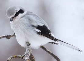 Northern Shrike Photo