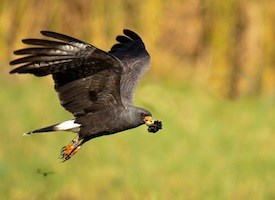 Snail Kite Photo