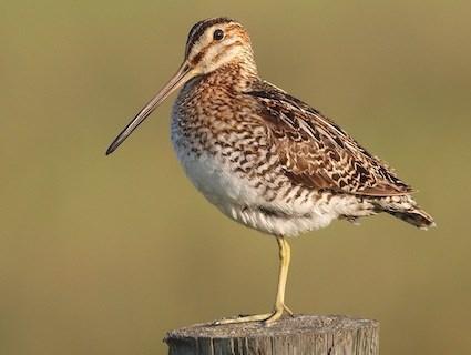Pin-tailed Snipe Identify - Whatbird.com