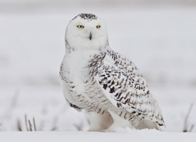 Image result for snowy owl