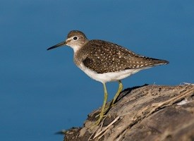 Solitary Sandpiper Photo